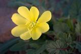 Desert Flower 84690