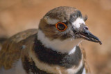 Killdeer Closeup 83949