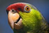 Parrot Closeup 85024