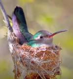Sonoran Desert Birds Gallery - Tucson Region