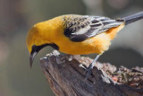 Hooded Oriole 85532