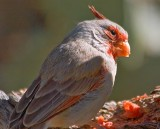 Pyrrhuloxia Eating Watermelon 85526