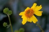 Yellow Desert Wildflower 85491