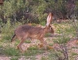 Black-tailed Jack Rabbit 85823