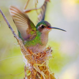 Hummingbird In A Nest 83811