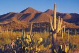Saguaro At Sunset 86158