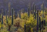Backlit Saguaros 86139