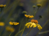 Yellow Wildflowers 86456