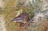 Cactus Wren In A Cactus 86584