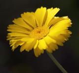Yellow Wildflower 86594