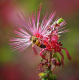 Bee On A Pink Fairy Duster 86475