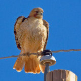 Hawk On A Wire 86088