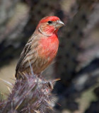 Finches of the US Southwest