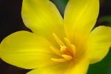 Yellow Tulip Closeup 87795