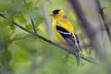 American Goldfinch 89265