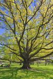 Big Old Tree 89328