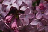 Lilac Closeup 89397