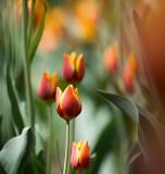 Red & Yellow Tulips 20090519