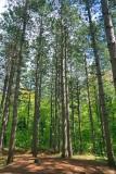 Pinhey Forest Scene 13380