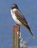Eastern Kingbird 20080525