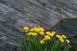 Dandelions Beside Rock 13484