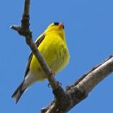 American Goldfinch 13568 (crop)