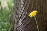Dandelion Beside A Tree 13635