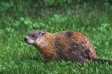 Groundhog 13557