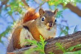 Red Squirrel In A Tree 13630