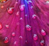Raindrops On A Purple Iris Petal 14154