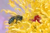 Bee On A Peony 14111