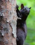 Black Squirrel 14496