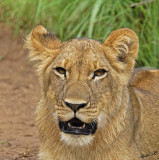 12889 - Lion cub / Victoria falls - Zimbabwe