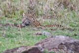 leopard_8054.jpg