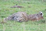 leopard_8038.jpg