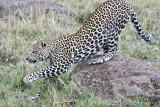leopard_8025.jpg