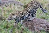 leopard_8024.jpg