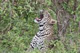 leopard_7957.jpg