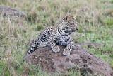 leopard_8017.jpg