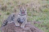 leopard_8014.jpg