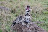 leopard_8012.jpg