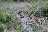leopard_7981.jpg
