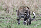 leopard_8049.jpg