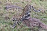 leopard_8027.jpg