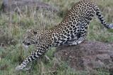 leopard_8026.jpg