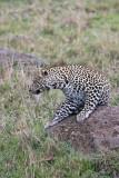 leopard_8023.jpg