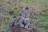leopard_8013.jpg