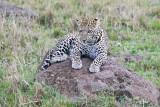 leopard_8008.jpg