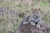 leopard_7994.jpg