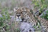 Leopard_7982.jpg